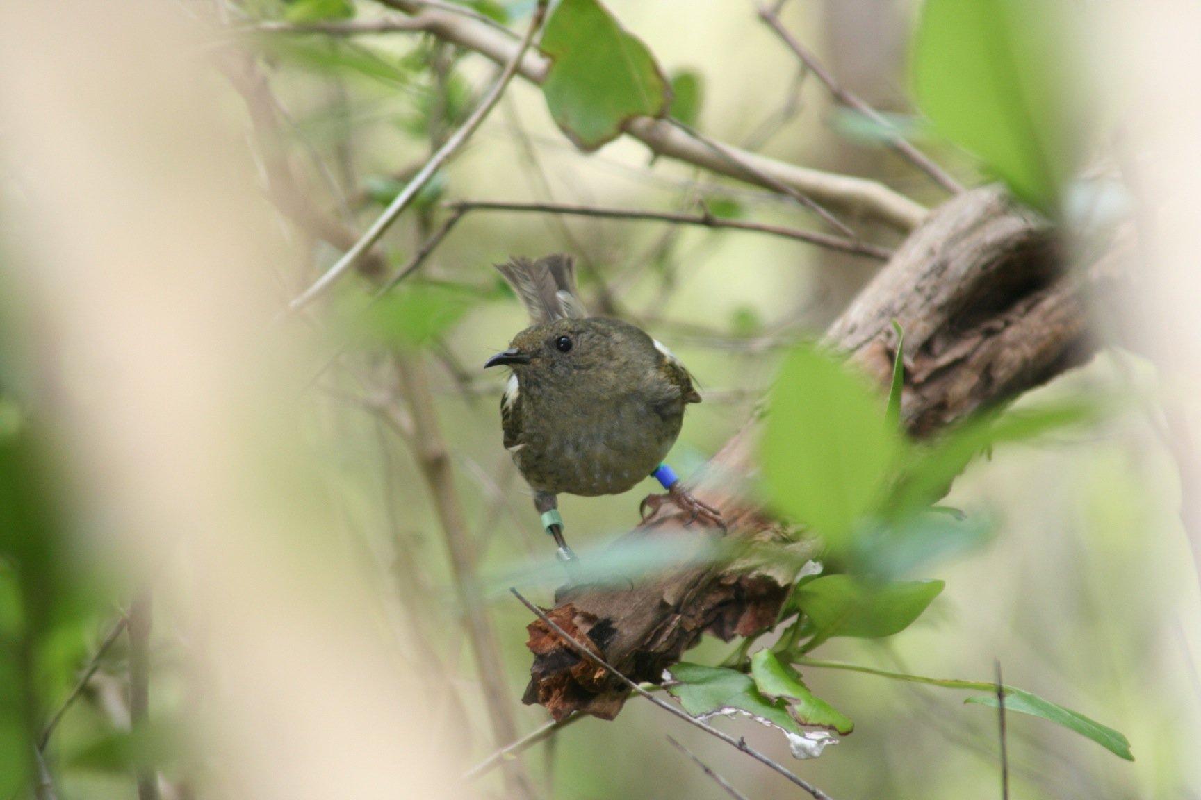 femlae stitchbird 2