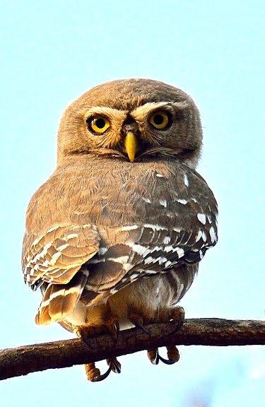 Forest Owlet © Nitin Bhardwaj