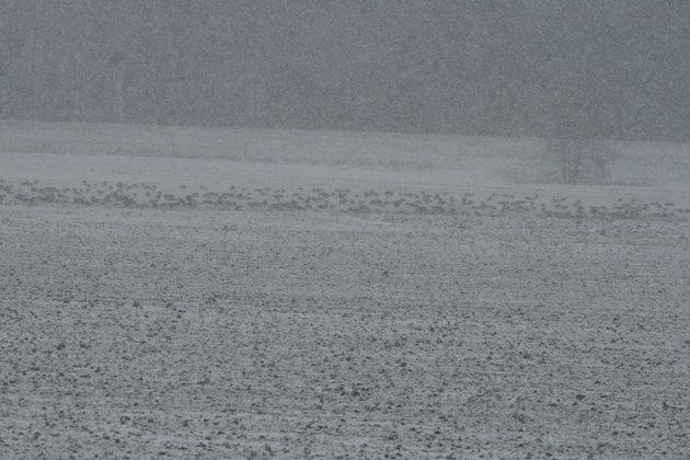 goose flock in snow
