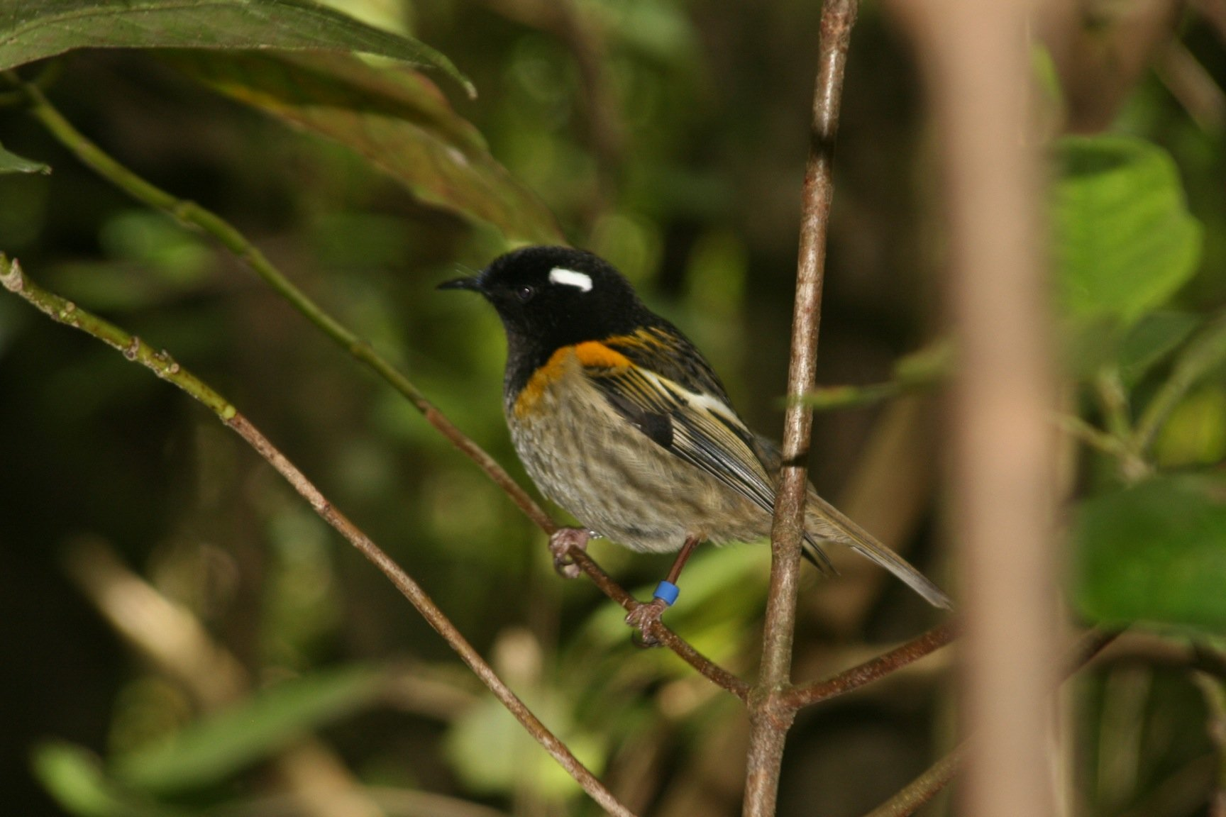 male stitchbird 2
