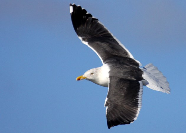 Lesser Black-backed Gull 2