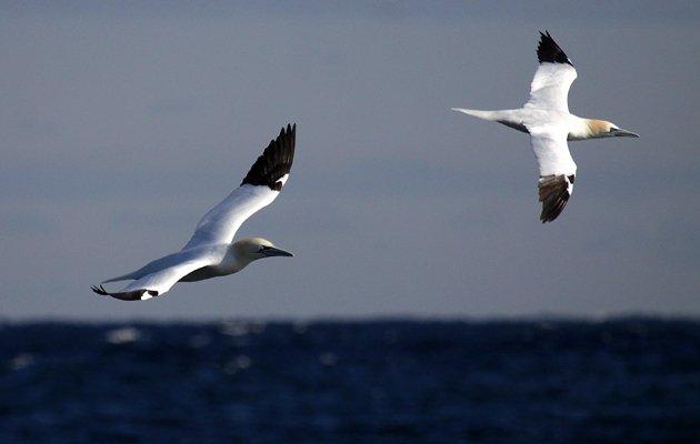 Northern Gannets Morus bassanus