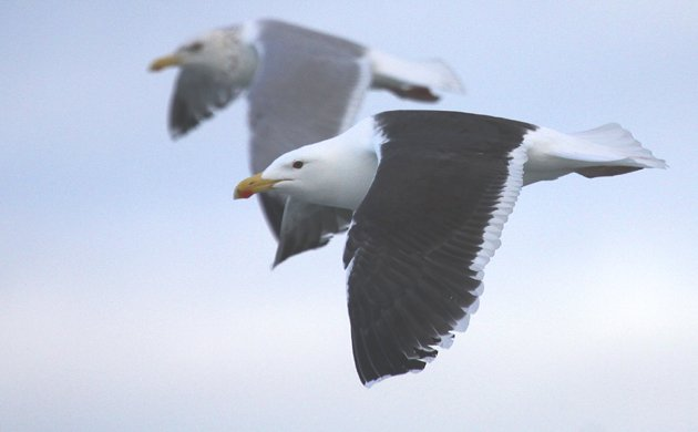 Great Black-backed Gull and Herring Gull