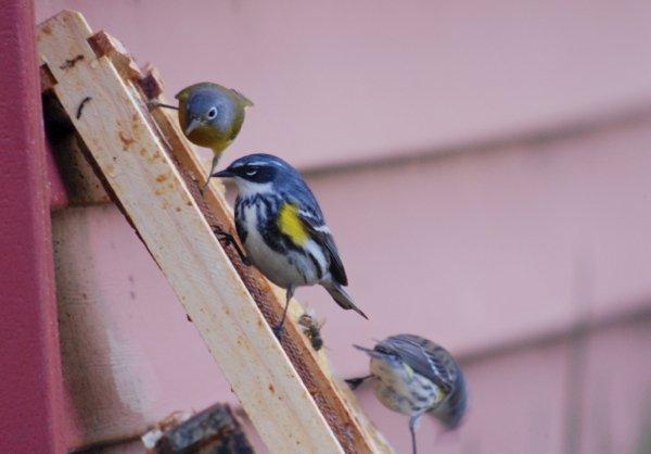 warblers 2