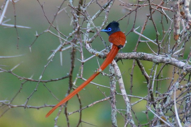 African Paradise Flycatcher by Adam Riley