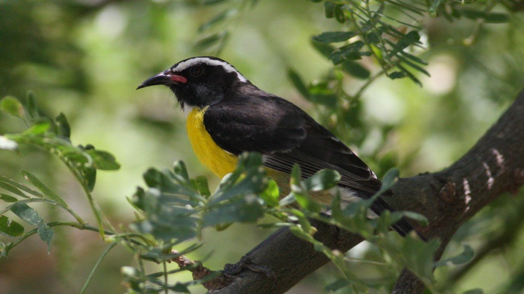 Bananaquit -  Palm Beach, Aruba