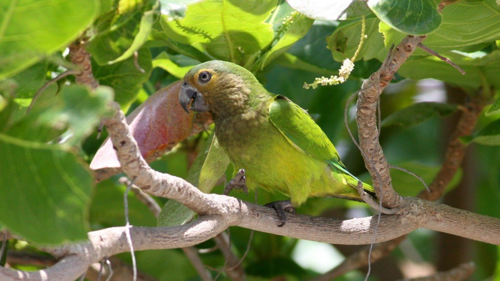 Brown-throated Parakeet -  Palm Beach, Aruba