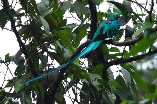 Resplendent Quetzal by Adam Riley