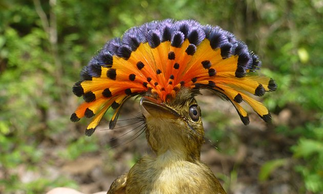 Royal Flycatcher by Nick Sly