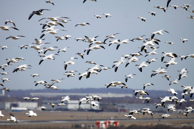 Snow Geese in February