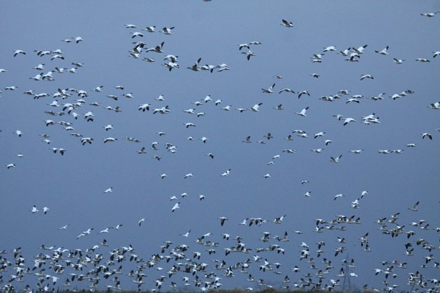 Snow Geese in January