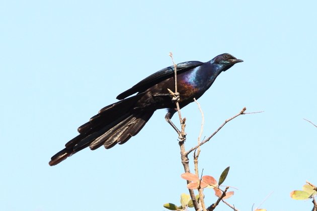 Meves's Glossy Starling by Adam Riley
