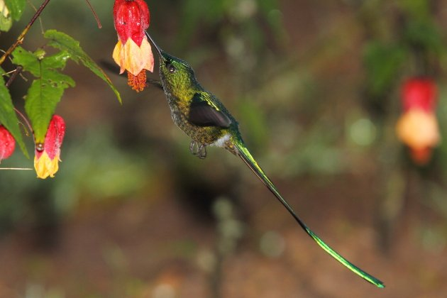 Long-tailed Sylph by Adam Riley