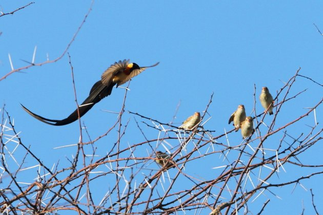 Long-tailed Paradise Whydah by Adam Riley