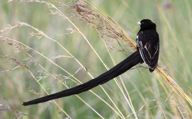 Long-tailed Widowbird by Adam Riley