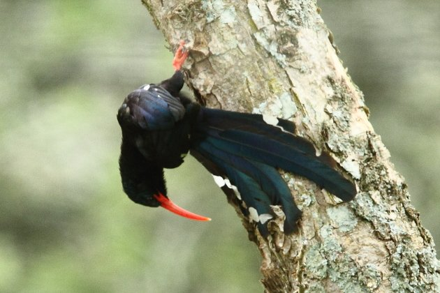 Green Woodhoopoe by Adam Riley