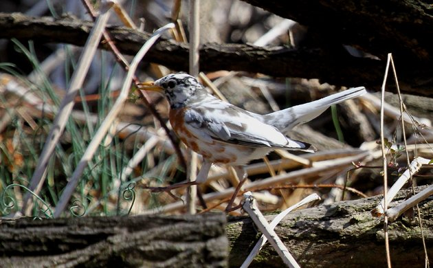 partially leucistic American Robin