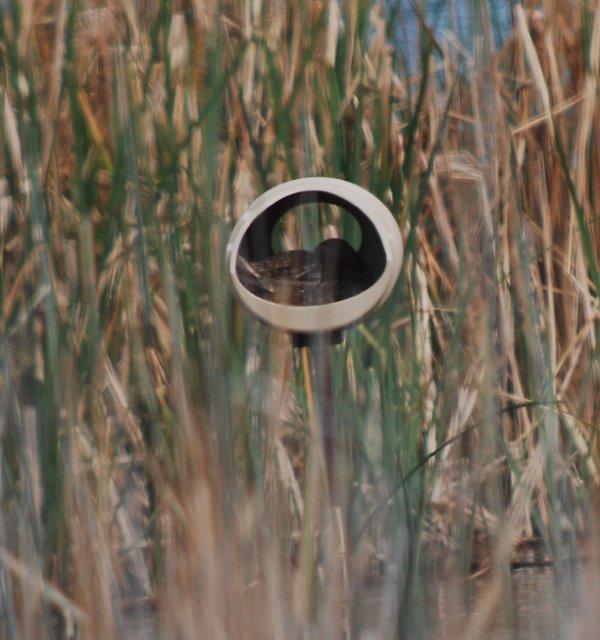 mallard nest