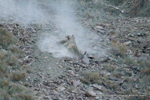 24. Leopard, Snow Hemis NP India AR-288