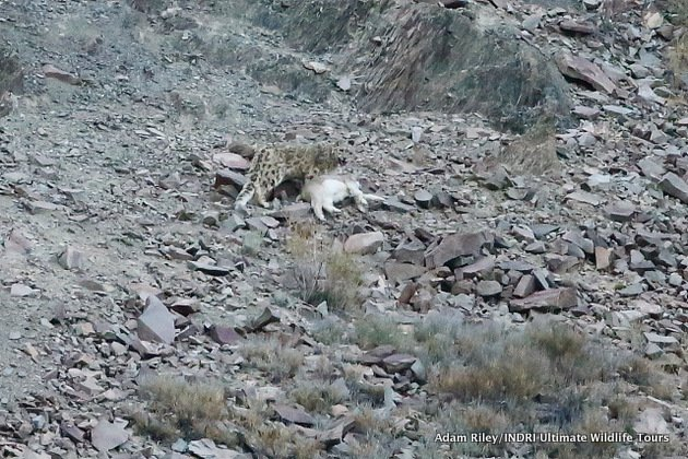 27. Leopard, Snow Hemis NP India AR-456