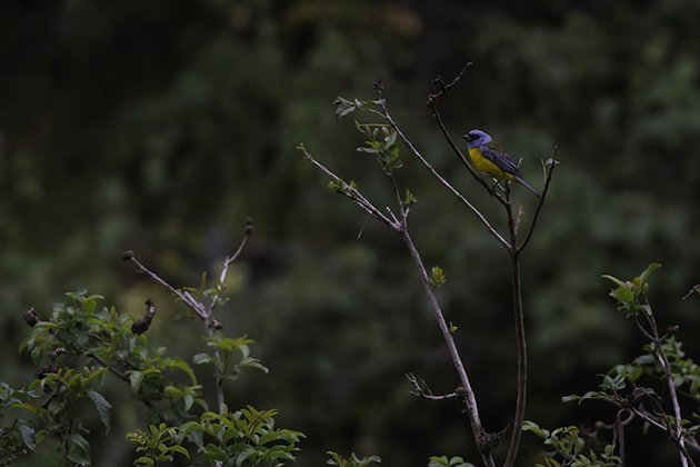 3-blue-and-yellow tanager