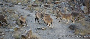 3. Blue Sheep, Hemis NP India AR