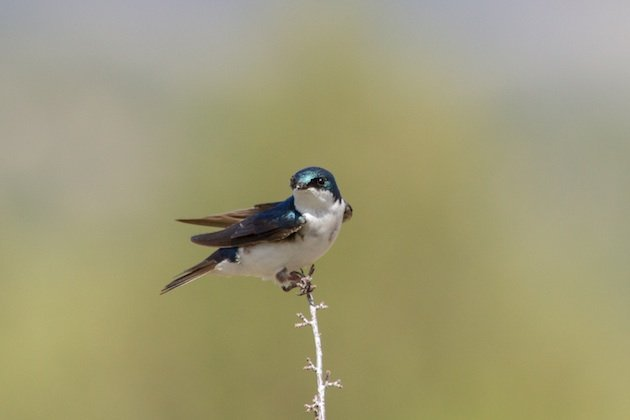 Tree Swallows are also cavity nesters