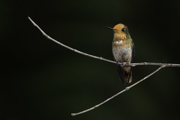 4-female_rufous-crested coquette