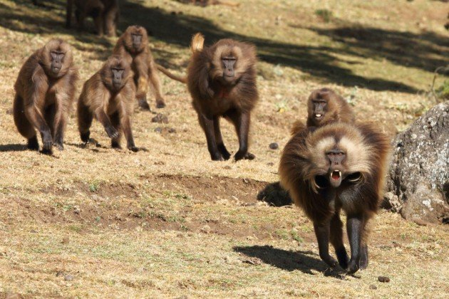 Bachelor male Geladas chase a harem maleBachelor male Geladas chase a harem male. Photo by Adam Riley