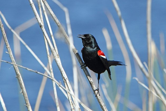 Tricolored Blackbird Male
