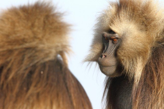 Gelada communications include intense staring with raised eyebrows