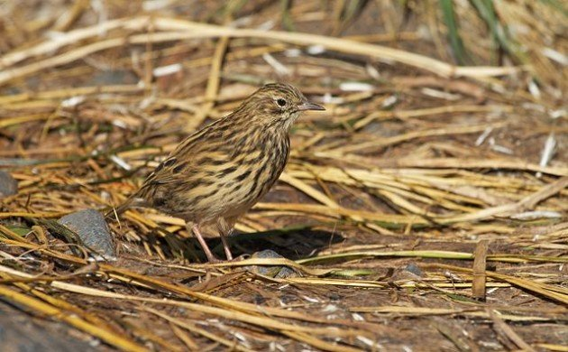 Good News for South Georgia's Pipit Population