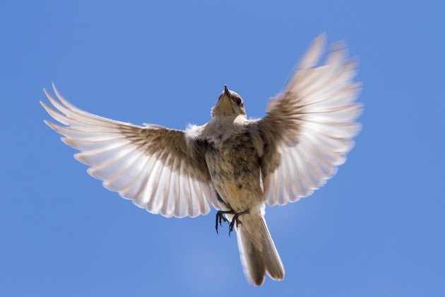 Adult female Mountain Bluebird spreads her wings