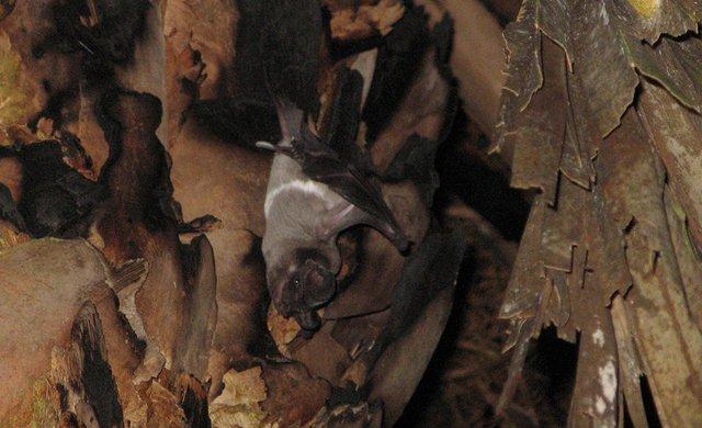Bonneted Bat