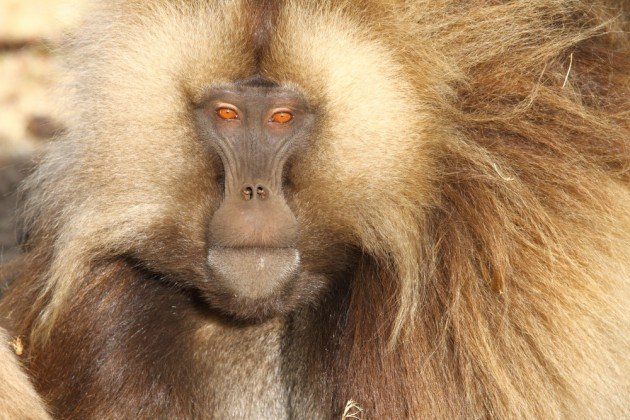 Portrait of a male Gelada. Photo by Adam Riley