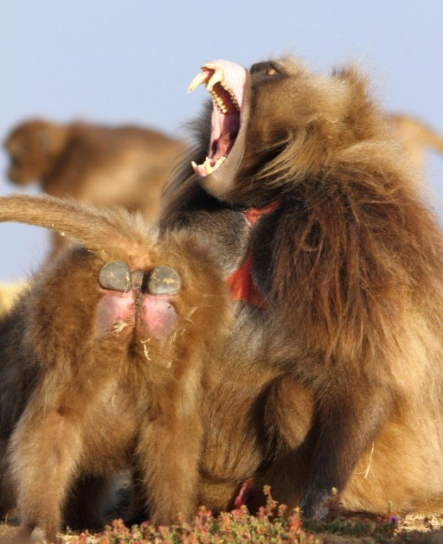 Yawning male and a female showing off Gelada's typical buttock pads