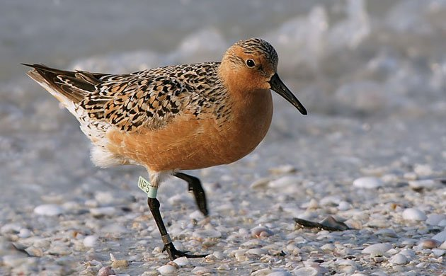 "The ""Rufa"" Red Knot is now protected under the Endangered Species Act"