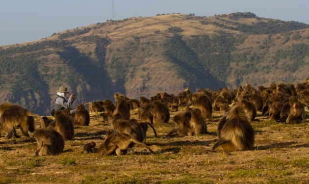 Photographing Geladas in Ethiopia's Simien Mountains by Dave Semler
