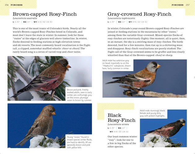 colorado rosy-finches