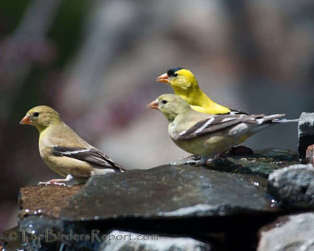 American Goldfinches in Breeding Plumage