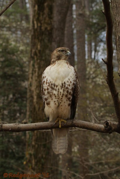 ATL 21Mar15 Red-tailed Hawk 03