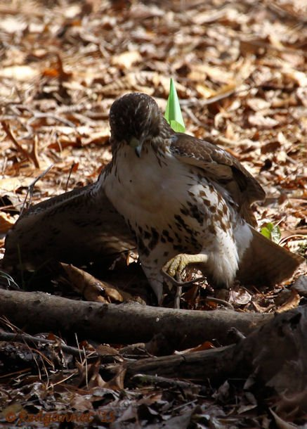 ATL 21Mar15 Red-tailed Hawk with snake 01
