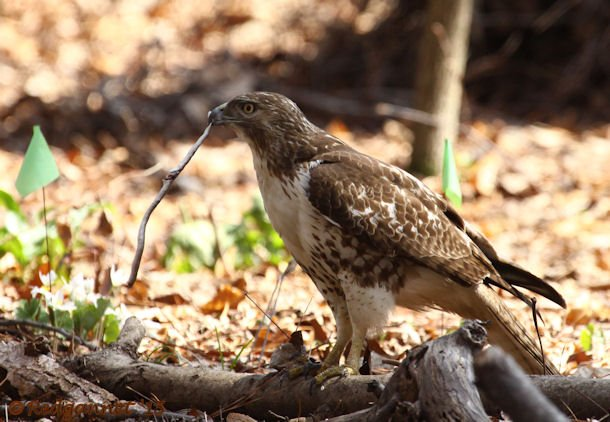 ATL 21Mar15 Red-tailed Hawk with snake 02