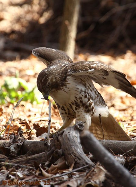 ATL 21Mar15 Red-tailed Hawk with snake 03