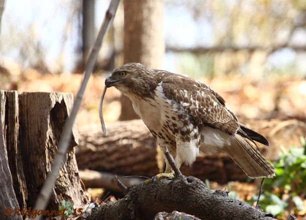 ATL 21Mar15 Red-tailed Hawk with snake 04