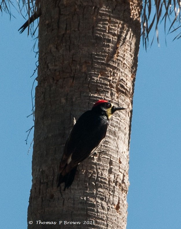 Acorn Woodpeckers-2