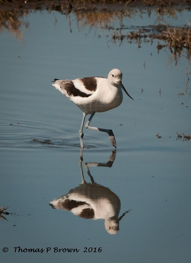 American Avocet reflection