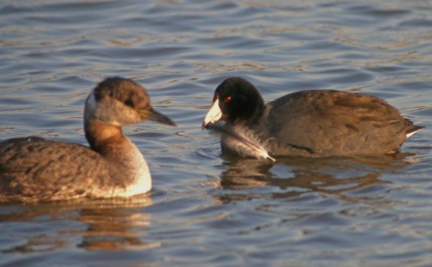 American Coot with grebe feather