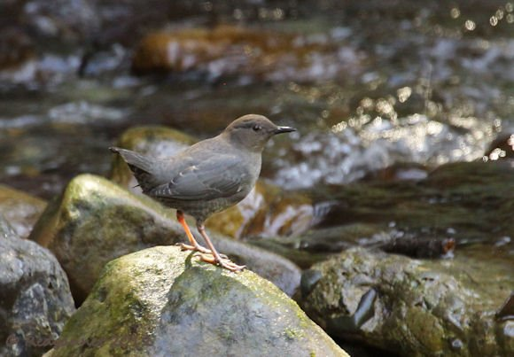 American Dipper by Redgannet