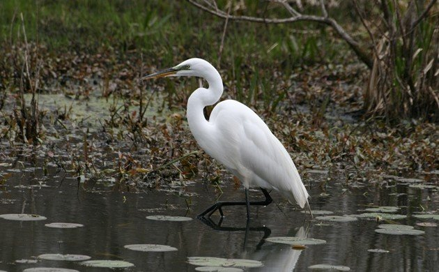 Great Egrets and the reliability of field marks